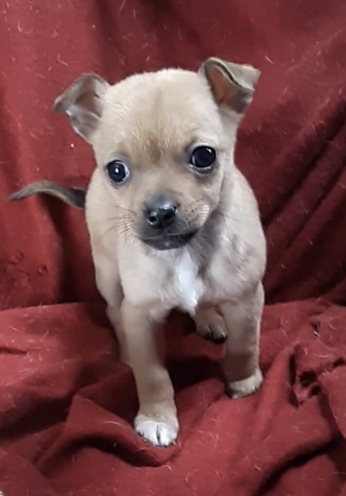 Piper, an adopted Chihuahua Mix in Flagstaff, AZ