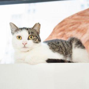 Midwood Domestic Short Hair Cat