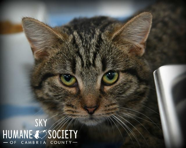 Sky, an adoptable Domestic Short Hair in Johnstown, PA