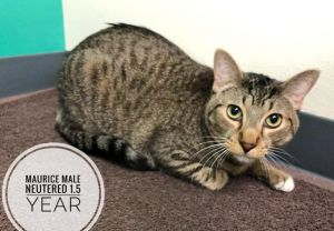 Maurice, adoptable Cat, Young Male Domestic Short Hair