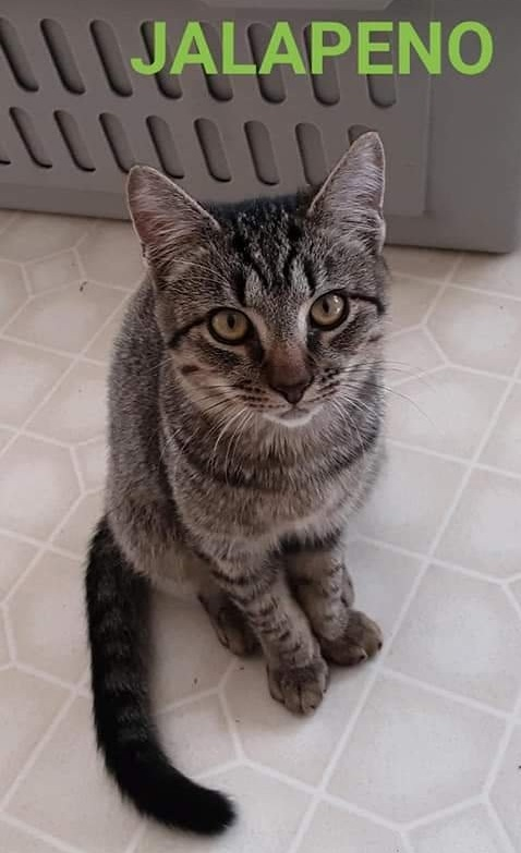 Jalapeno, an adopted Tabby in Hendersonville, NC
