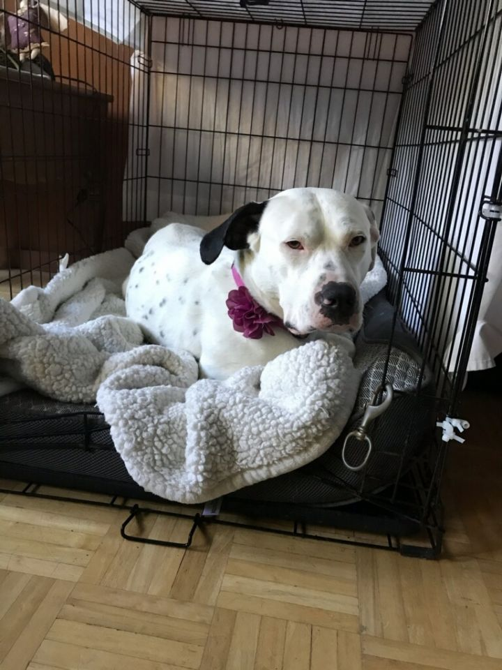 Lucy, an adopted Pit Bull Terrier & Dalmatian Mix in Bonney Lake, WA