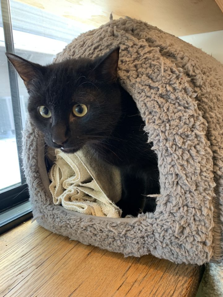Ashford, an adoptable Domestic Short Hair in Jackson, WY
