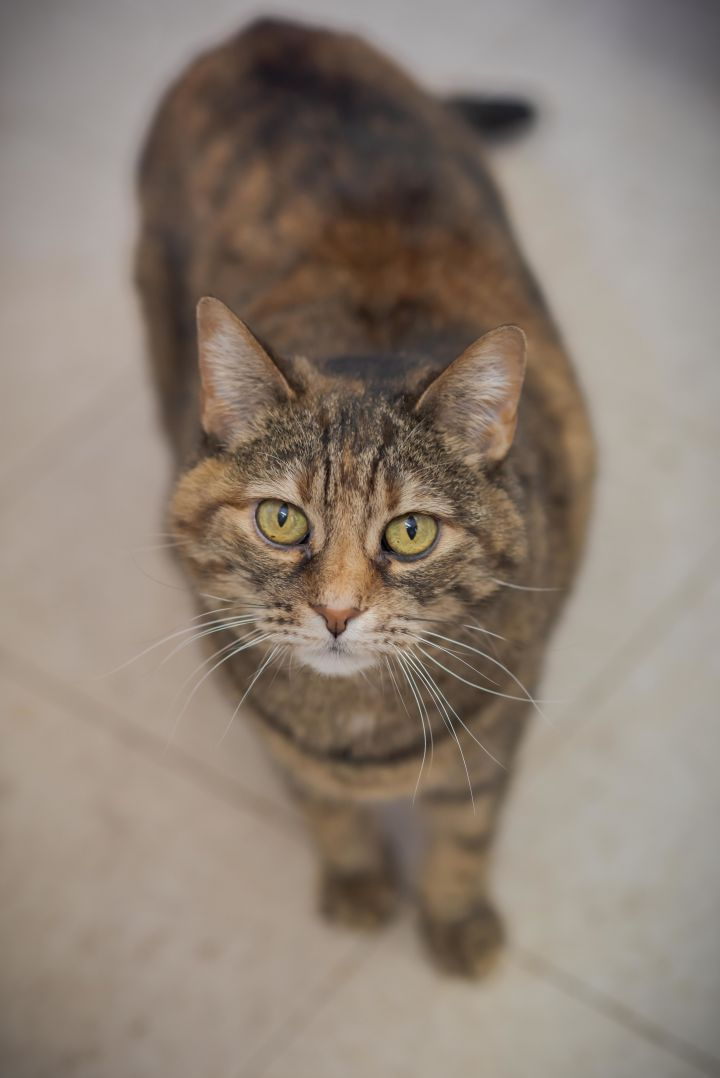 Jada, an adoptable Domestic Short Hair Mix in Papillion, NE