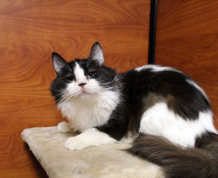 "Pip Pip Cheerio ""bonded to Pop Corn"", an adoptable Domestic Long Hair in Centerville, UT"