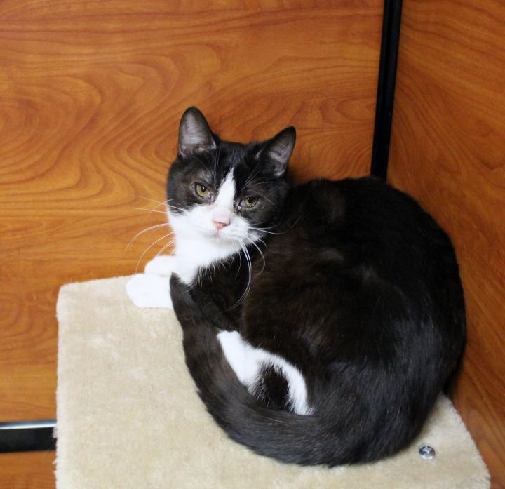 "Pop Corn ""bonded to Pip Pip Cheerio"", an adoptable Domestic Short Hair in Centerville, UT"