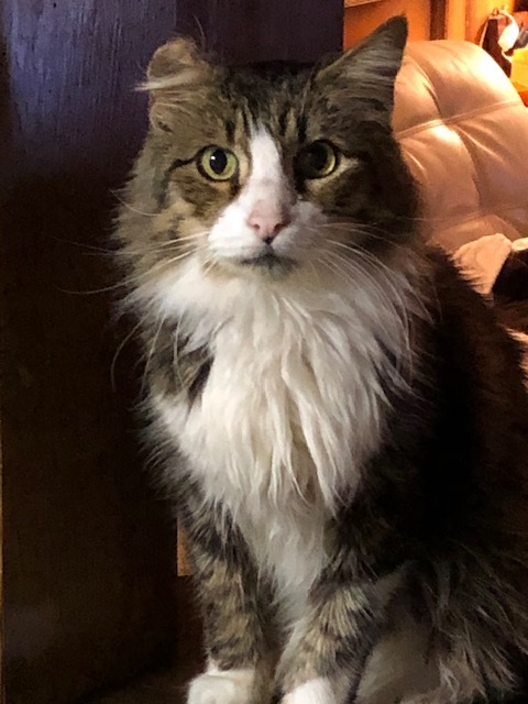 Reynolds, an adopted Maine Coon & Domestic Medium Hair Mix in Houston, TX
