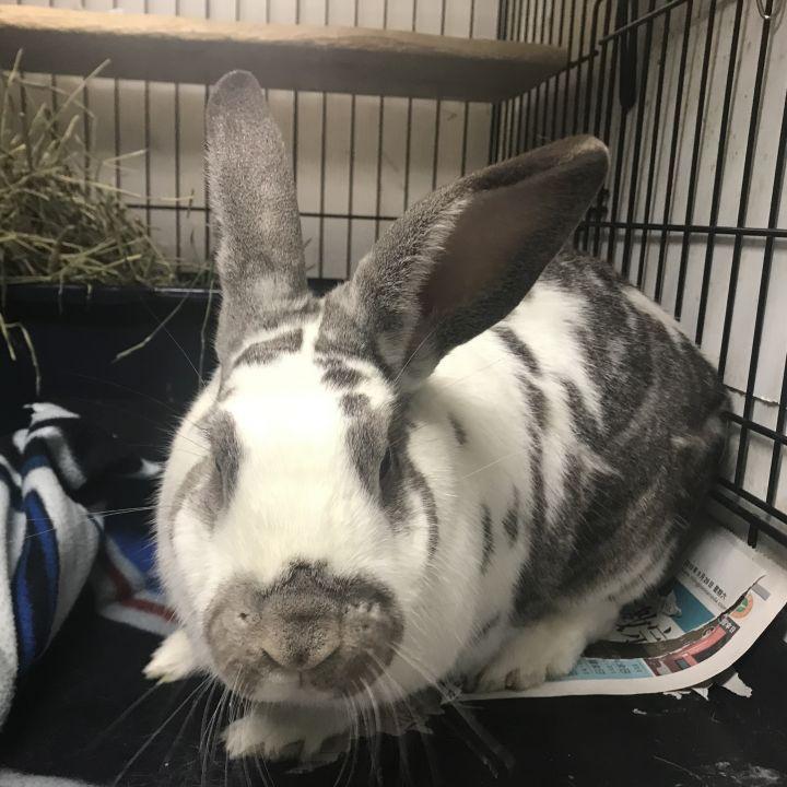 Rabbit For Adoption Finnegan A Flemish Giant Bunny