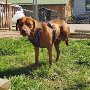 Melina loves to spend time with her people and go for walks She is currently in a foster home and