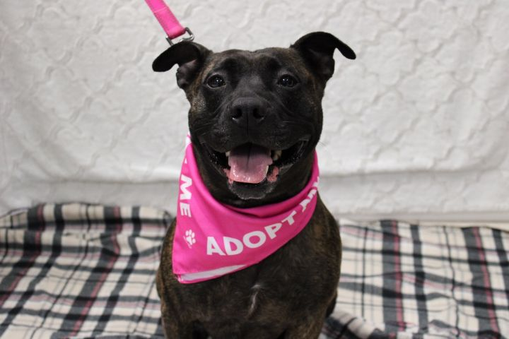 Spicy, an adoptable Pit Bull Terrier Mix in Medford, NY