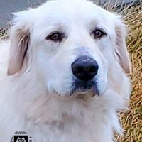 Fiero, an adoptable Great Pyrenees Mix in Omaha, NE