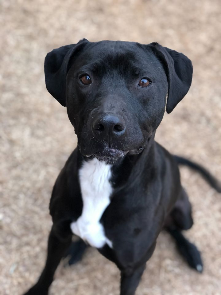 River, an adoptable Labrador Retriever & Pit Bull Terrier Mix in Oklahoma City, OK