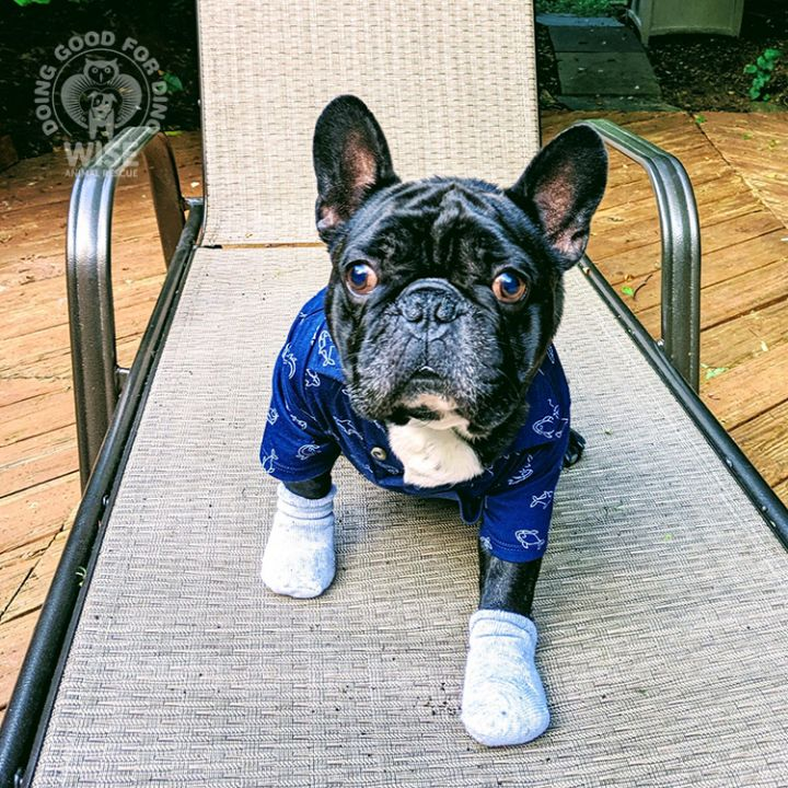 Dino, an adoptable French Bulldog in Parsippany, NJ