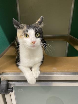 Clawdius, an adoptable Domestic Short Hair in Clarks Summit, PA