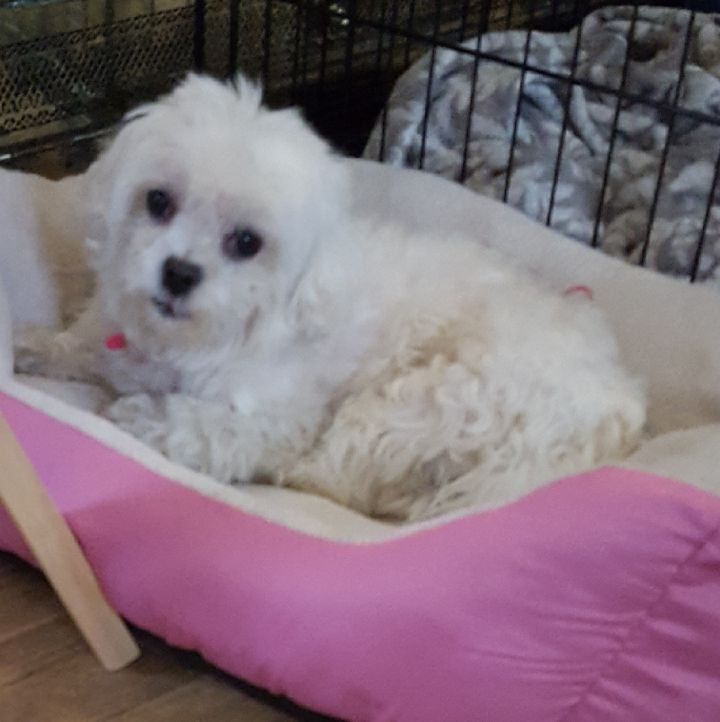 Butterball, an adoptable Maltese in Dublin, OH