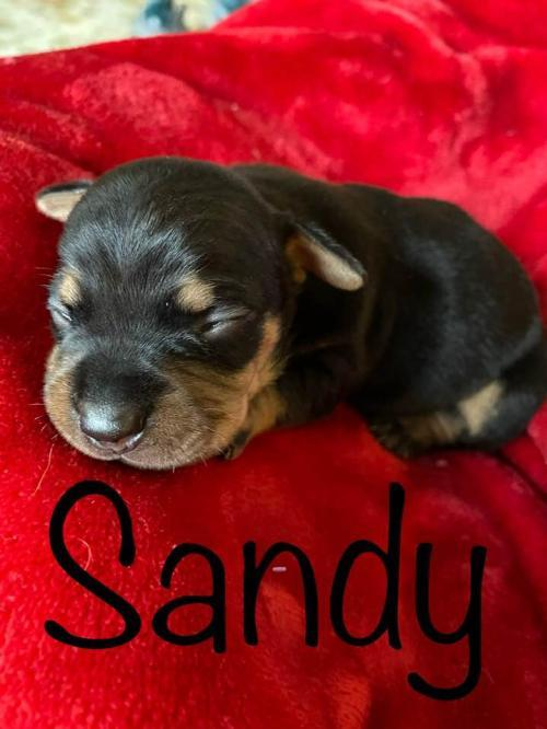Sandy, an adopted Dachshund Mix in New York, NY