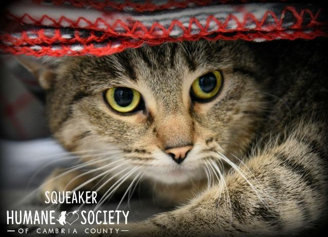 Squeaker, an adoptable Domestic Medium Hair in Johnstown, PA