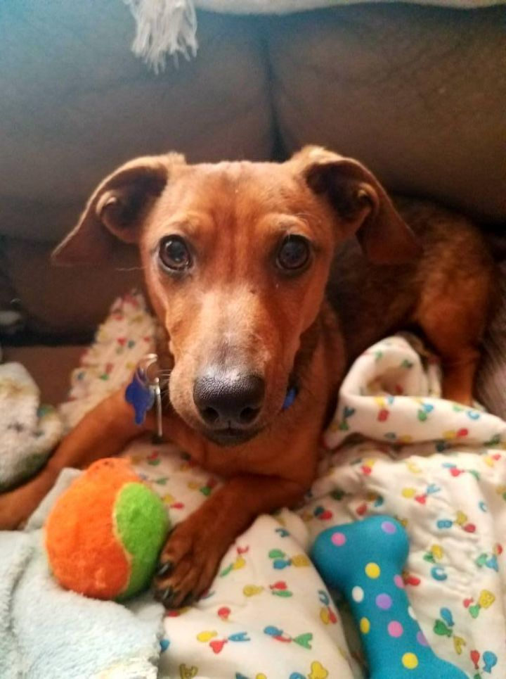 Ollie, an adopted Dachshund Mix in Springfield, MO