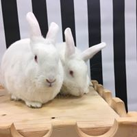 Pebbles & Bambam, an adoptable New Zealand in Youngstown, OH