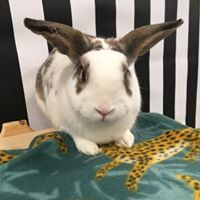 Fion, an adoptable Bunny Rabbit Mix in Youngstown, OH