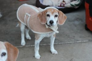 Sasha  hospice Beagle Dog