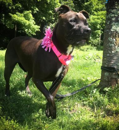 Ava, an adoptable Pit Bull Terrier Mix in Bloomsburg, PA