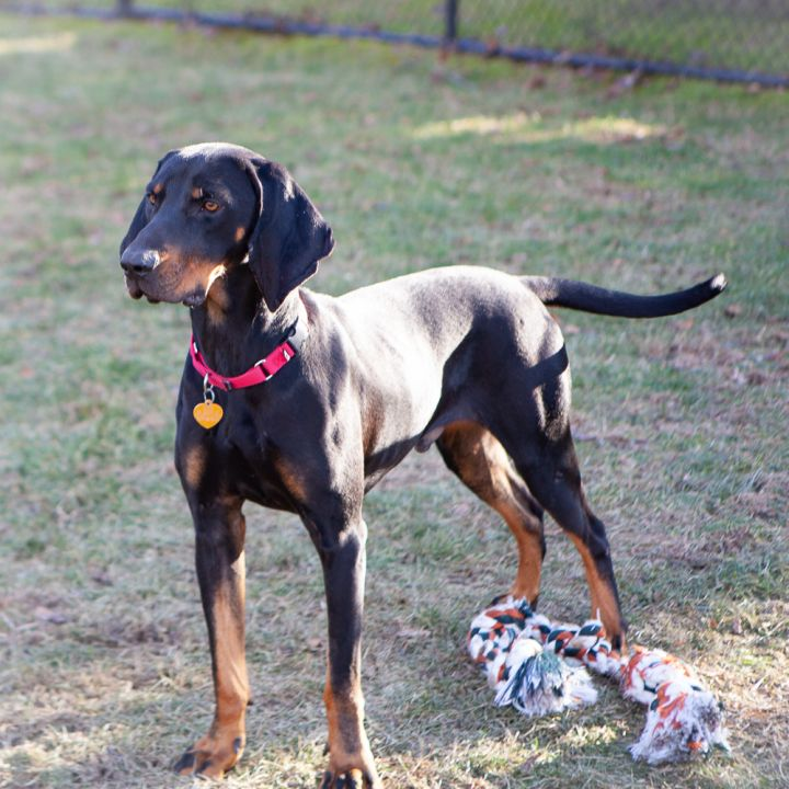 Bingo, an adopted Black and Tan Coonhound & Hound Mix in Ridgefield, CT