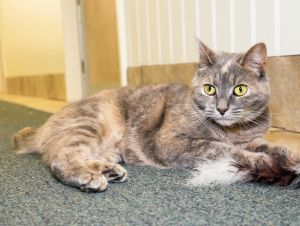 Melt Your Heart Meet Lilac a beautiful 4-year old dilute calico that came to us from Stamford Anim