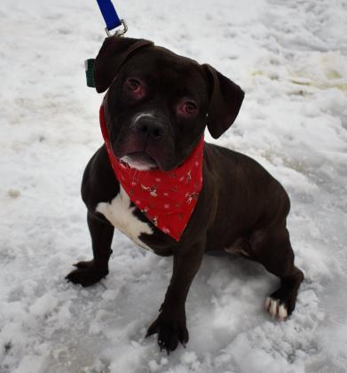 Anna-Belle, an adoptable Boxer Mix in Clarks Summit, PA