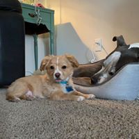 Fizz Gig, an adopted Chihuahua Mix in West Richland, WA