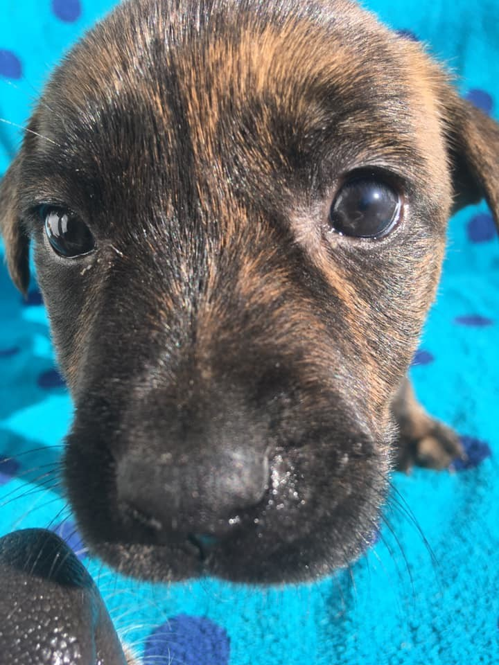 Blaze, an adoptable Terrier Mix in Manhattan, KS
