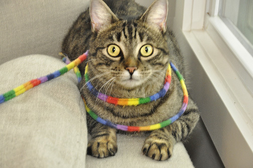Tigger, an adopted Domestic Short Hair in West Orange, NJ_image-1