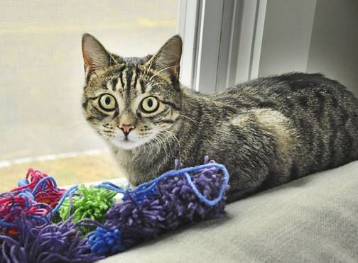 Tigger, an adopted Domestic Short Hair in West Orange, NJ_image-2