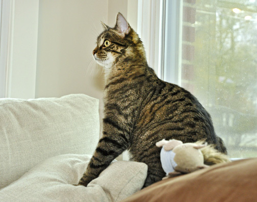 Tigger, an adopted Domestic Short Hair in West Orange, NJ