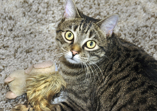 Tigger, an adopted Domestic Short Hair in West Orange, NJ_image-4