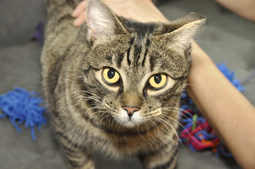 Tigger, an adopted Domestic Short Hair in West Orange, NJ_image-5