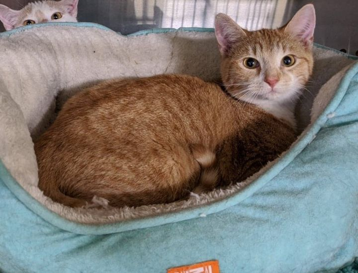 Jonah Purrman, an adoptable Domestic Short Hair in Mebane, NC
