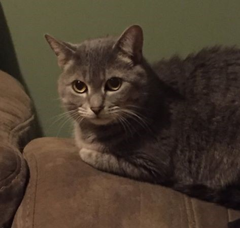 Lola, an adoptable Domestic Short Hair in Mebane, NC