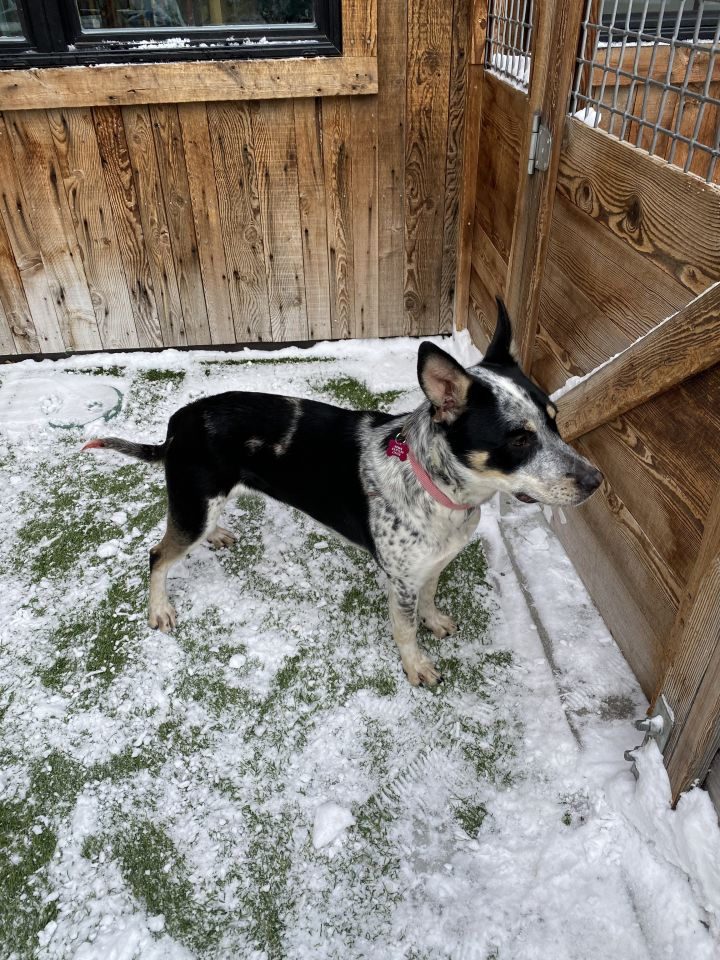 Sweetie, an adopted Cattle Dog Mix in Jackson, WY