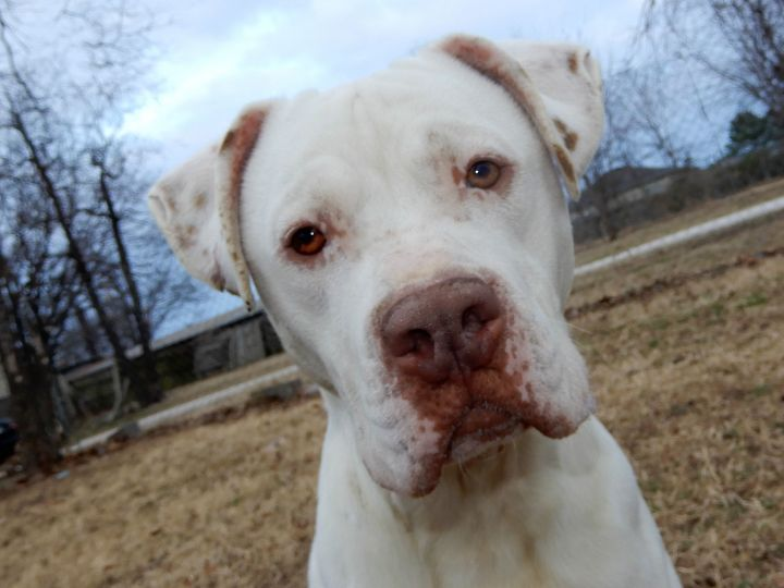 Dog For Adoption Brad Pitt 6011 A Pointer Amp American Staffordshire Terrier Mix In Rogers Ar