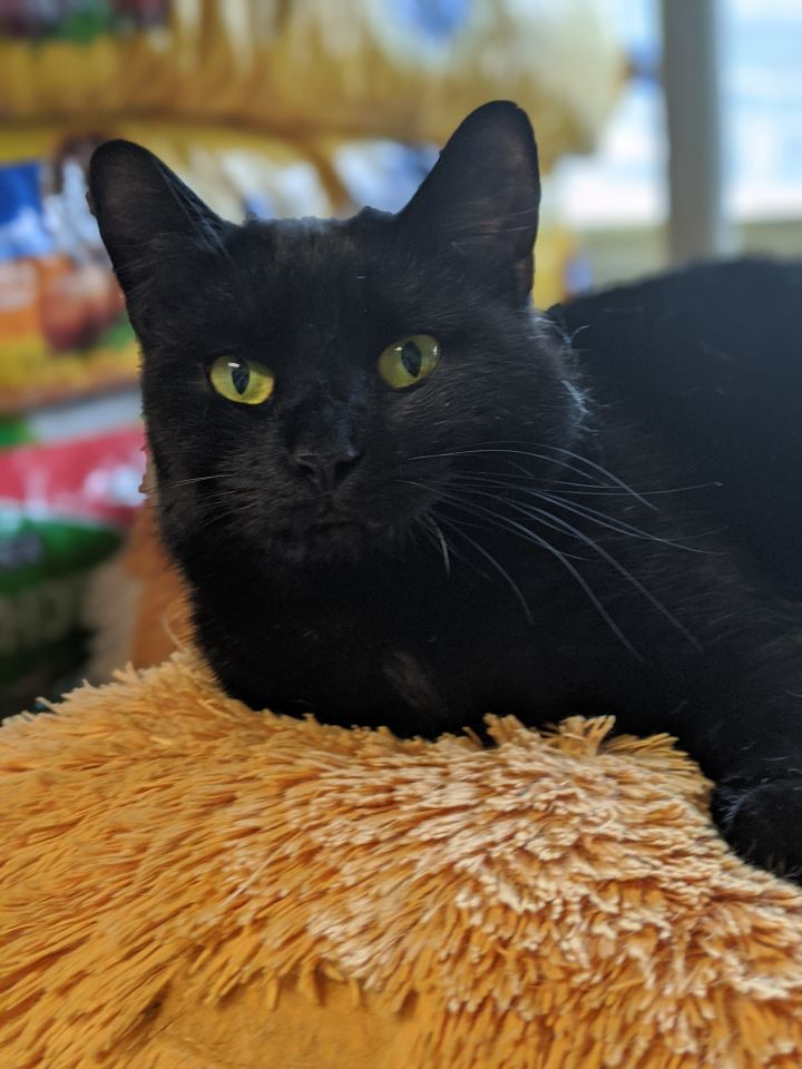 Janet, an adoptable Domestic Short Hair in Mendham, NJ