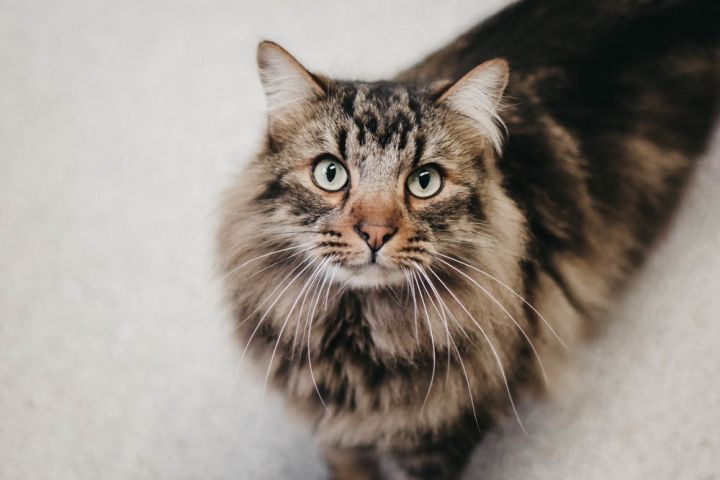 Benji, an adopted Domestic Long Hair & Maine Coon Mix in Longview, WA