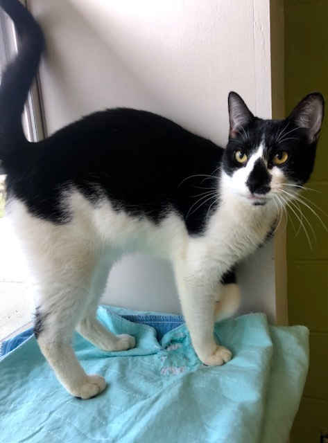 Wednesday, an adoptable Domestic Short Hair Mix in Carencro, LA
