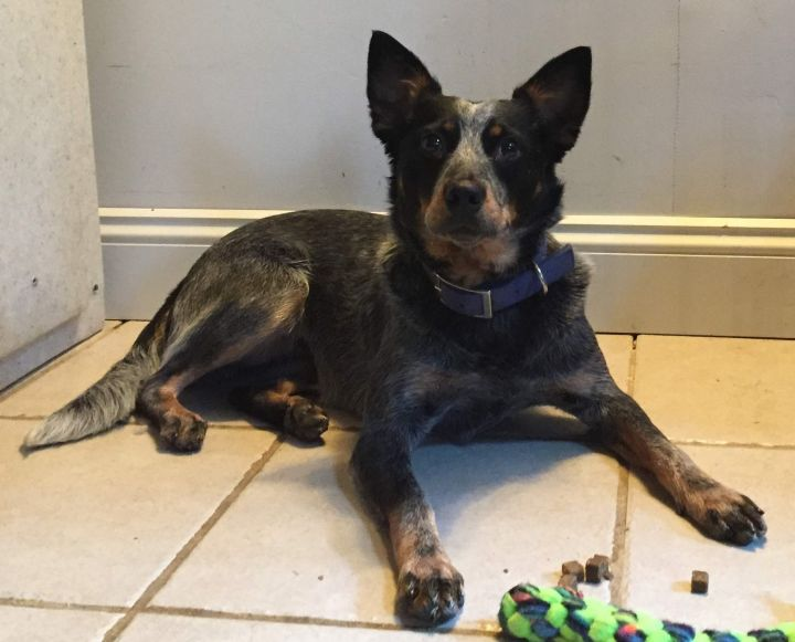 Phoebe, an adoptable Australian Cattle Dog / Blue Heeler in Deerfield, NH