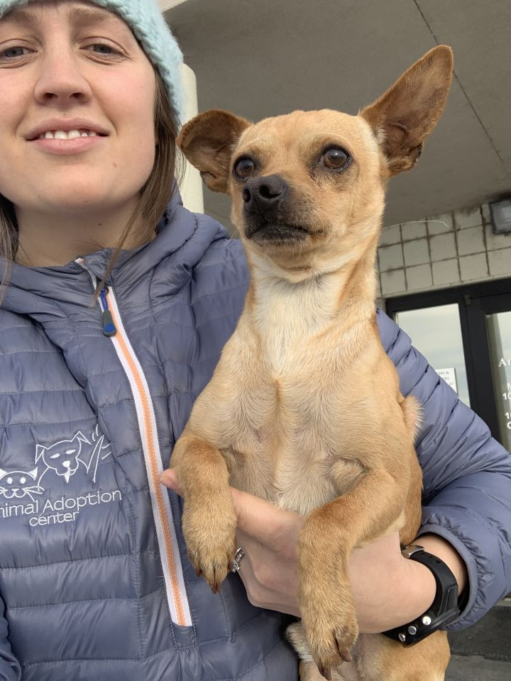 Jacques, an adopted Chihuahua Mix in Jackson, WY