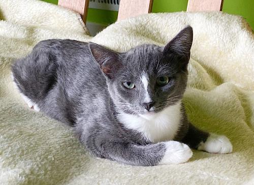Grover, an adoptable Tuxedo & Domestic Short Hair Mix in Springfield, OR