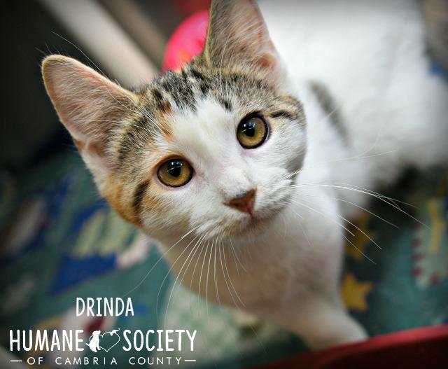 Drinda, an adoptable Domestic Short Hair in Johnstown, PA