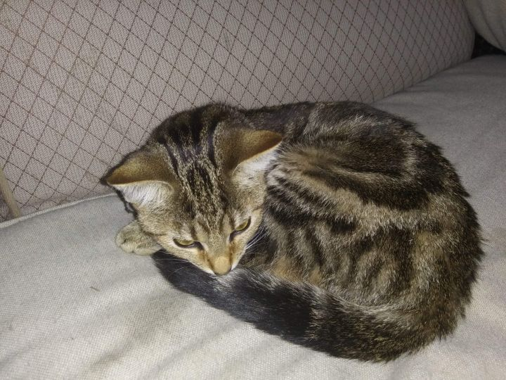 Cat For Adoption Marble A Domestic Short Hair Maine Coon Mix In Sardinia Oh Petfinder