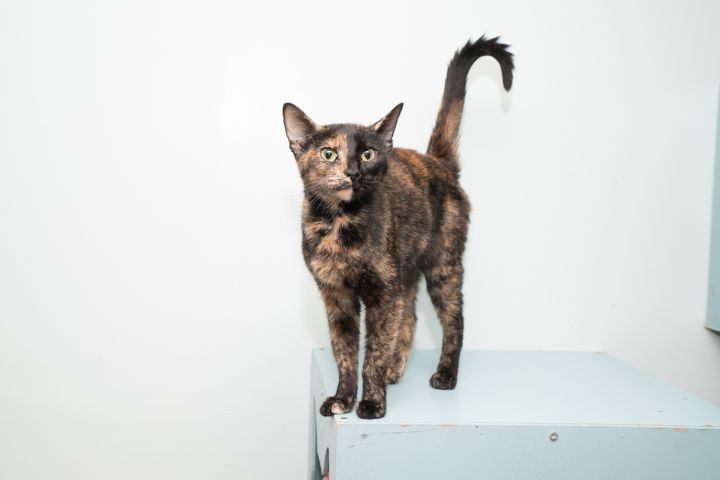 Romona, an adoptable Domestic Short Hair in Chicago, IL
