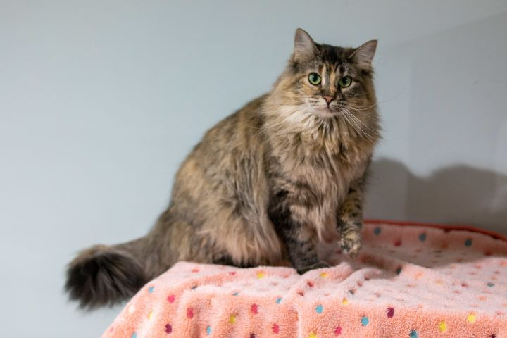 Riley, an adoptable Maine Coon Mix in Chicago, IL